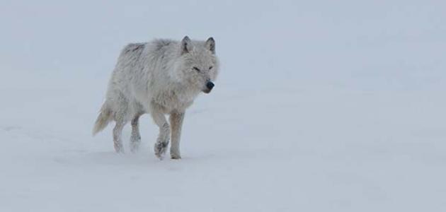 معلومات عن ذئب القطب الشمالي
