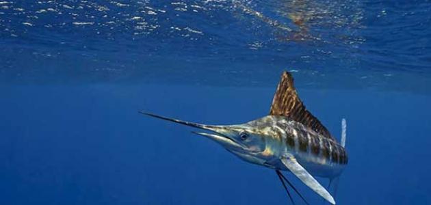 ما هو أسرع حيوان في البحر