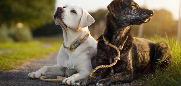 الأحاديث النبوية الصحيحة عن تربية الكلاب