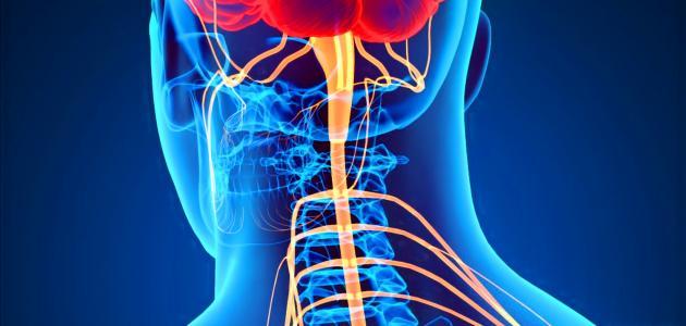 بحث عن الجهاز العصبي